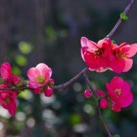 Deep-Pink-Blossom