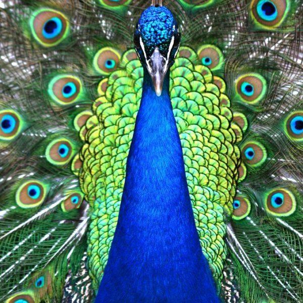 PeacockSymbolism3