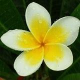 frangipani-2